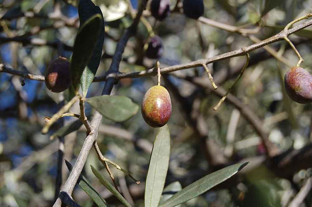 Olivenöl in Ligurien
